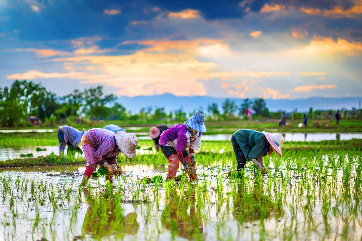People working in rice field